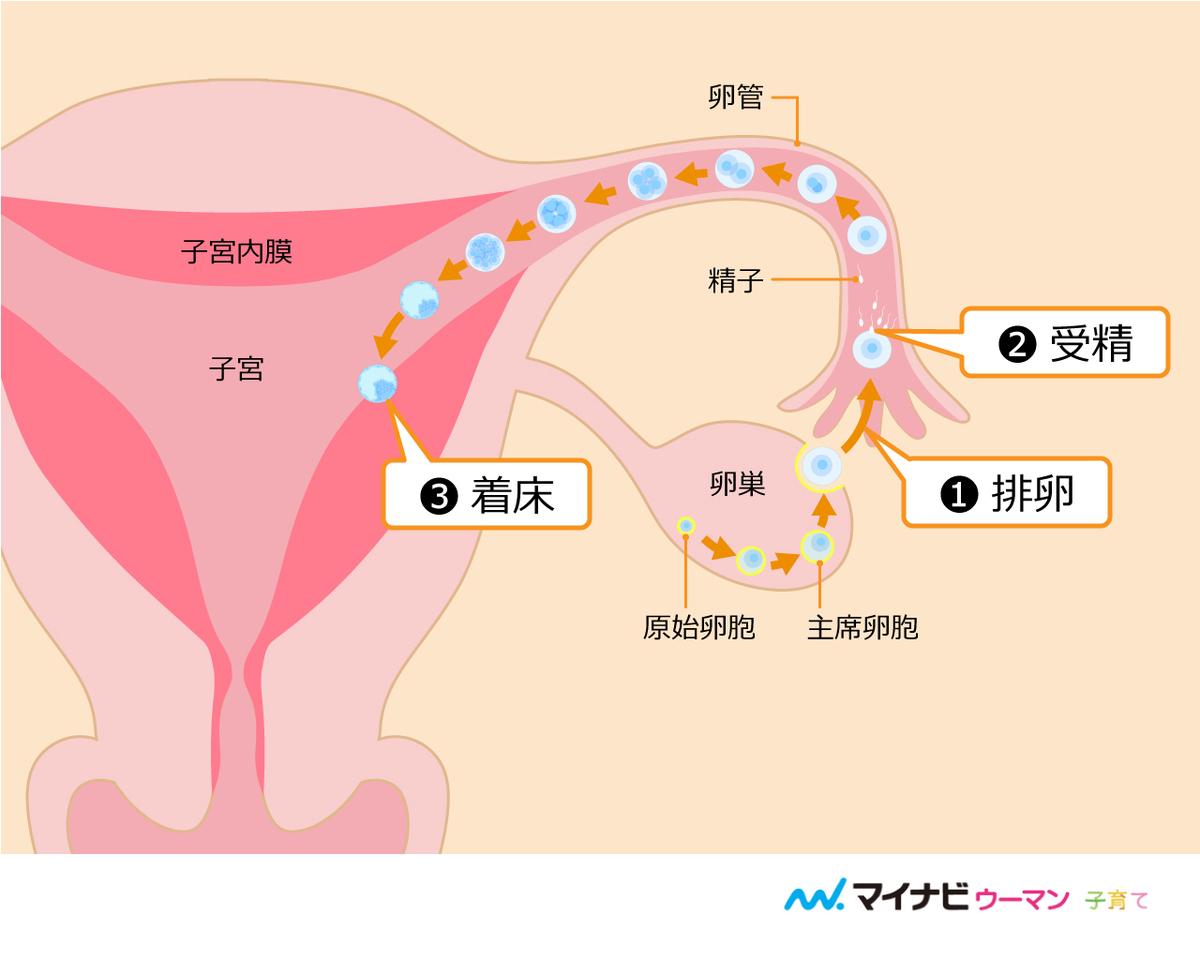 確率 排卵日 妊娠 外だし